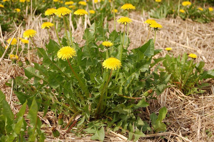 Risultati immagini per Impariamo a conoscere le erbe selvatiche bioregionali