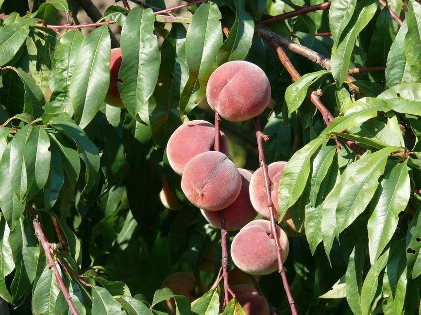 Prunus-persica-Pesca-Frutti-2